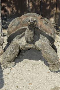 USA, Florida, Orlando, tortoise, Gatorland. von Danita Delimont