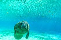 Manatee Swimming in clear water of Crystal River, Florida von Danita Delimont