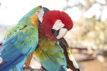 USA, Florida, Orlando, Blue-and-Yellow Macaw and Scarlett Ma... by Danita Delimont