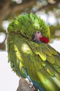 USA, Florida, Orlando, Green Macaw, Gatorland. by Danita Delimont
