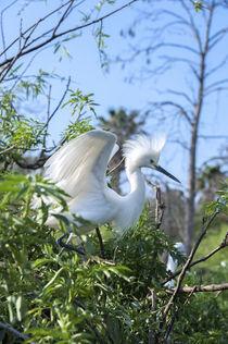 USA, Florida, Orlando, Snowy Egret, Gatorland. von Danita Delimont