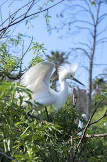 USA, Florida, Orlando, Snowy Egret, Gatorland. by Danita Delimont