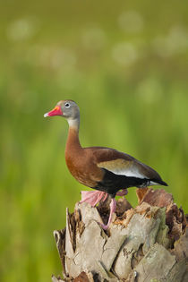 Black-bellied Whistling Duck on cabbage palm, Dendrocygna au... von Danita Delimont