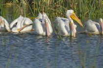 A flock of White pelicans in line to begin feeding, Pelecanu... by Danita Delimont