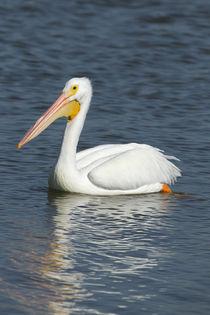 White pelican, Pelecanus Erythrorhynchos, Viera Wetlands Florida, USA by Danita Delimont