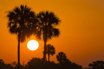 Florida cabbage palms at sunrise at Florida Bay, Flamingo, E... von Danita Delimont