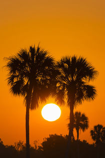 Florida cabbage palms at sunrise at Florida Bay, Flamingo, E... by Danita Delimont