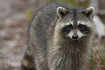 Raccoon, Procyon lotor, Florida, USA by Danita Delimont