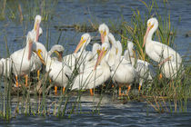White pelicans resting among the bulrush, Pelecanus Erythror... by Danita Delimont