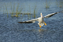White pelican landing, Pelecanus Erythrorhynchos, Viera Wetl... by Danita Delimont