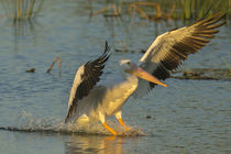 White pelican landing, Pelecanus Erythrorhynchos, Viera Wetl... von Danita Delimont