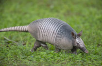 Nine-banded armadillo, or long nose on the run, Dasypus nove... von Danita Delimont