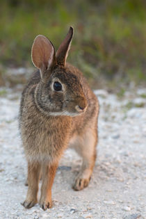Eastern cottontail, Sylvilagus Floridanus, Kissimmee Preserv... by Danita Delimont