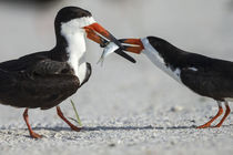 Black Skimmer protecting minnow from others, Rynchops Niger,... von Danita Delimont