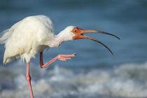 Adult White ibis scratching along shoreline, Eudocimus albus... by Danita Delimont