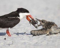 Black Skimmer chick going for fish, Rynchops niger, Gulf of ... by Danita Delimont