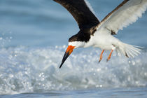 Black Skimmer coming in for a landing, Rynchops niger, Gulf ... by Danita Delimont