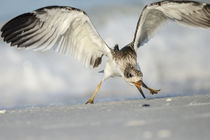 Black Skimmer fledgling practicing skimming along shore, Ryn... by Danita Delimont