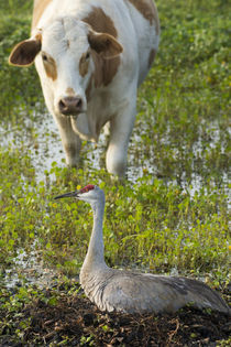 Curious cattle coming down for water, Sandhill Crane alertin... by Danita Delimont