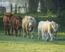 Mixed cattle coming for water, Florida von Danita Delimont