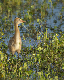 Sandhill Crane colt out foraging, Grus canadensis, Florida by Danita Delimont
