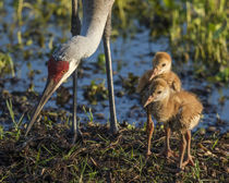 Sandhill Crane colts on nest with parent, Grus canadensis, Florida by Danita Delimont