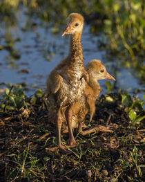 Sandhill Crane colts on nest, Grus canadensis, Florida by Danita Delimont
