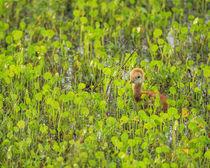 Sandhill Crane first colt out foraging, Grus canadensis, Florida von Danita Delimont