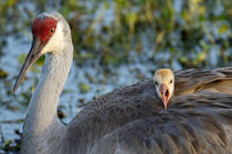 Sandhill Crane on nest with baby on back, Grus canadensis, Florida by Danita Delimont