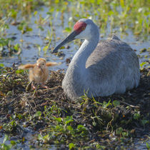 Wild Sandhill Crane feeding first colt a dragonfly, Grus can... by Danita Delimont