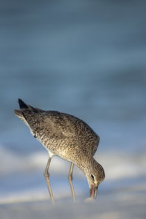 Willet feeding on sandflies along shoreline, Catoptrophorus ... by Danita Delimont