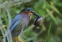 Green heron with fish, Florida, USA by Danita Delimont