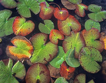 Yellow Pond Lily Pads floating in the water, Florida USA von Danita Delimont