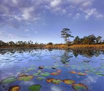 Pond lilies, Jonathan Dickinson State Park, Florida, USA von Danita Delimont