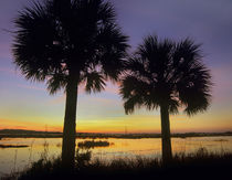 Sabal palms at Saint Marks National Wildlife Refuge, Florida, USA von Danita Delimont
