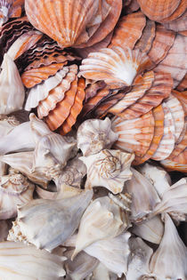 USA, Florida, Florida Keys, Key West, seashells. by Danita Delimont