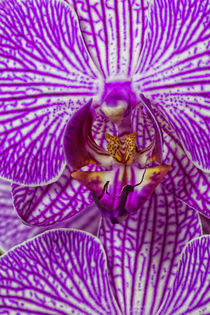 USA, Georgia, Savannah, Close-up of orchid. by Danita Delimont