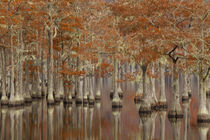 USA, Georgia, Cypress swamp with fall reflections. by Danita Delimont