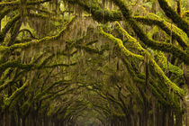 USA, Georgia, Savannah, Oak lined drive at Historic Wormsloe... von Danita Delimont