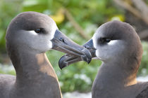 Black-footed Albatross courting von Danita Delimont