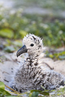 Black-footed Albatross chick by Danita Delimont