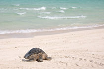 Hawaiian Green Turtle resting on beach by Danita Delimont