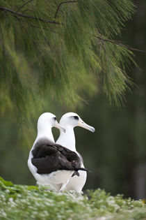 Laysan Albatross couple by Danita Delimont