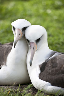 Laysan Albatross courting by Danita Delimont