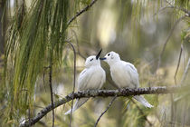 White Terns courting von Danita Delimont