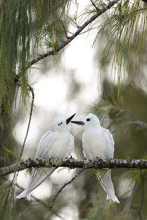 White Terns courting by Danita Delimont