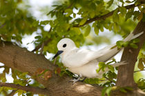 White Terns resting by Danita Delimont
