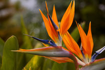 Bird of Paradise, Kula Botanical Garden, Upcountry, Maui, Hawaii by Danita Delimont