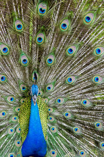 Indian peacock, Waimea Valley Audubon Park, North Shore, Oahu, Hawaii. by Danita Delimont