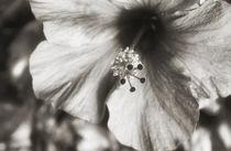 USA, Hawaii, Kauai, Hibiscus von Danita Delimont